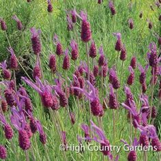 Purple Ribbon is a seed grown Spanish Lavender with excellent vigor, dark purple flowers and a strong sweet scent to the flowers and foliage. It is also a bit cold hardier than many of the newer Spanish Lavender cultivars. Dark Purple Flowers, Purple Ribbon, Spanish Lavender, High Country Gardens, Full Sun Plants, Water Plants, Lavender Garden, Lavender Plants, Deer Resistant Plants