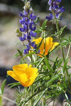 Desert wildflowers: lupies and poppies.