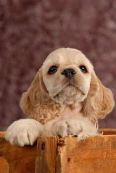 i remember when my dog looked like this. i love american cocker spaniels.:)