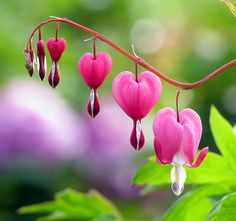 So of course I love hearts found in nature. I know it's Tibet's funeral flower, but it's one of my fave. A true example of love in nature....