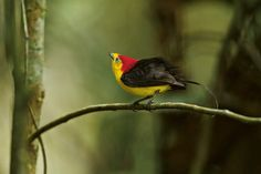 The White-winged Manikin lives in the rain forests of the north-west of the equator and south-western Colombia. The species is a homebody: a colony remains all year on the same plot of land.