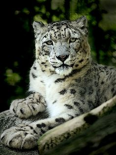 ~~Snow leopard by iPhotograph~~