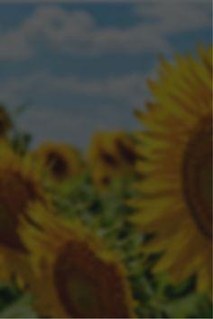 Zielony Ogródek Bonsai, Dandelion, Flowers, Plants, Floral, Plant, Taraxacum Officinale, Royal Icing Flowers, Dandelions