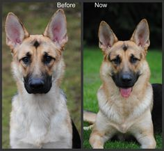"""Raw fed for 5 months. (from http://germanshepherdhome.net/forum/ubbthreads.php/topics/98787/1)  A dog owner will notice results right away, probably within a week. Perhaps, even less. My Annie's coat was noticeably different after just a few days. She had ZERO skin problems and I THOUGHT she had an excellent coat, but then...you really have no choice but to re-define """"excellent coat"""" and """"healthy"""", with regard to dogs. It's a bit surreal..."""