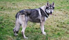 northern inuit dog - Google Search Big Dogs, Dogs And Puppies, Wolf Husky, Wolf Dogs, Northern Inuit Dog, Animals And Pets, Cute Animals, Alaskan Husky, Snow Dogs