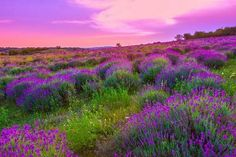Picture of Sunset over a summer lavender field in Tihany, Hungary- This photo make hrd technik stock photo, images and stock photography. Cloud Wallpaper, Sunset Wallpaper, Beautiful Landscape Wallpaper, Beautiful Landscapes, Desktop Background Images, Desktop Backgrounds, Blue And Purple Flowers, Meadow Flowers, Beautiful Sites