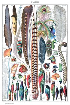 Adolphe Philippe Millot (Paris, 1 May 1857 – 18 December 1921) was a French naturalist illustrator. He worked for the Grand Larousse encyclopédique. #Illustration #Feathers