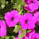 Flores perenes - jardineiro.com