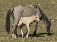 Pryor Mountains, Montana, wild horses, palomino colt under mare's belly Andalusian Horse, Friesian Horse, Arabian Horses, Palomino, Baby Horses, Draft Horses, Horse Photos, Horse Pictures, All The Pretty Horses