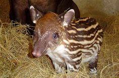 baby tapir's pajama-like coat