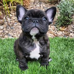 French Bulldog Stock Photos and Pictures Getty Images Miniature French Bulldog, White French Bulldog Puppies, Brindle French Bulldog, French Bulldogs, Cute Puppies, Cute Dogs, Dogs And Puppies, Doggies, Puppy Backgrounds