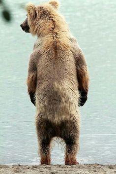 Taken in King Salmon, Alaska Beautiful Creatures, Animals Beautiful, Cute Animals, Wild Animals, Mon Zoo, Bear Pictures, Bear Photos, North To Alaska, Power Animal