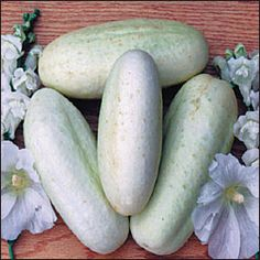 """Cucumber, White Wonder - (Cucumis sativus) (aka Long White, Albino) Introduced in 1893 by W. Atlee Burpee of Philadelphia who obtained the seeds from a customer in western New York. Fruits are 7"""" long by 2½"""" in diameter. Turns from greenish white to ivory then yellowish at maturity. Excellent eating quality, ideal for pickles or slicing. Highly productive even during hot weather. 58 day"""