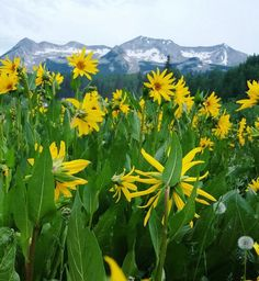 If we can't have snow then we might as well have this :) #14erskiers #crestedbutte #wildflowers #sunflowers