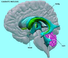 The caudate nucleus plays an important role in the brain of many animals including humans. It is essential for abilities such as memory and learning, although it is also active whenever a person is getting information from his or her senses. Nucleus is the name given to parts of the brain containing a higher density of neurons than other locations. This structure plays a role in a person's ability to understand language and a risk of developing obsessive compulsive disorder (OCD)