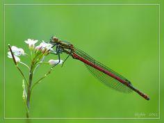respect voor de schoonheid van de natuur, haar Schepper en de maakster van zulke prachtige foto's http://lilybie.jalbum.net/dragongflys