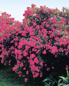 This Robin Hood looks amazing. Maybe this could be my hedge for the front yard? Rose Hedge, Colorful Shrubs, Musk Rose, Dutch Gardens, Mediterranean Plants, Privacy Plants, Natural Fence, Fast Growing Plants, Living Fence
