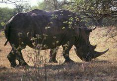 #Nashorn im #Umfolozi Nationalpark, #Südafrika