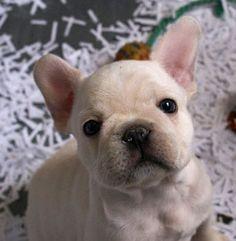 French Bulldog Puppy @Erica Cerulo Fallot