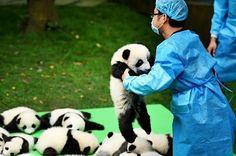 中国四川省の成都パンダ繁殖研究基地で、2016年生まれの赤ちゃんパンダがお披露目され - Yahoo!ニュース(アフロ)