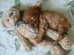 Sleepy puppy dog hugging Teddybear