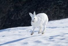 Learn all you wanted to know about Arctic hares with pictures, videos, photos, facts, and news from National Geographic.