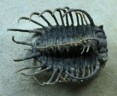 Koneprusia Moroccan Museum Trilobite  Spectacularly Spined NEW TYPE   Koneprusia aff dahmani  Trilobites Order Odontopleurida, Family Odontopleuridae  Geological Time: Lower Devonian  Size (25.4 mm = 1 inch): Trilobite is 40 mm long by 30 mm wide (including spines) on a 95 mm by 85 mm matrix  Fossil Site: Jebel Oufaten, Morocco