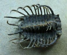 Koneprusia dahmani Odontopleurid Moroccan Trilobite