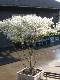 Amelanchier lamarckii makes a brilliant small garden tree. Looks after itself Potted Trees, Trees And Shrubs, Evergreen Shrubs, White Gardens, Small Gardens, Small Trees For Garden, Small Water Features, Patio Interior, Plantation