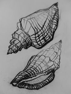 observational shell drawing