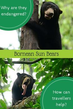Ethical travellers need to take responsibility for the planet. Learn the story of the Bornean Sun Bear, and what you can do to help protect and rehabilitate these beautiful creatures. Travel Abroad, Asia Travel, Local Tour, Responsible Travel, Blog Love, Family Travel, Group Travel, What You Can Do, World Traveler