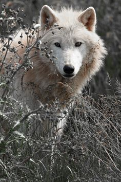 Arctic Wolf by, Alan Hinchliffe Wolf Love, Arktischer Wolf, Wolf Husky, Lone Wolf, Beautiful Creatures, Animals Beautiful, Cute Animals, Wolf Spirit, Spirit Animal