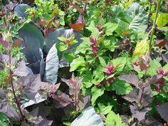 Plantes potagères qui se ressèment