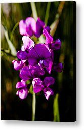 The Beautiful Sweet Pea Flower Photograph by David Patterson - The Beautiful Sweet Pea Flower Fine Art Prints and Posters for Sale
