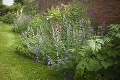 Anemone x hybrida 'Honorine Jobert' provides green contrast to the blue-mauve flowers of Geranium 'Mrs Kendall Clark' and Nepeta 'Six Hills Giant', with dark crimson columbine