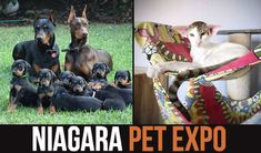 NIAGARA PET EXPO (June 9 - 10, 2018)  NIAGARA'S LARGEST INDOOR PET FESTIVAL @ Scotiabank Convention Centre, Niagara Falls. The Canadian Pet Expo is to promote responsible pet ownership. Over 300 Vendors and many Cat & Dog breeders. Learn more...