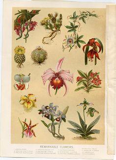 Gloxinia 1845 Flore Des Serres Lithograph Adroit Van Houtte