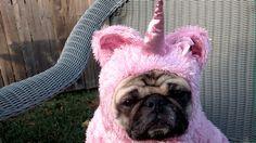 20 Cutest Pug GIFs...OMG! DYING!!!