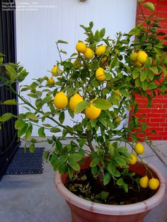 Meyer Lemon Tree Seriously you can lighten skin with lemon! Find out how here Potted Fruit Trees, Fruit Trees In Containers, Citrus Trees, Trees To Plant, Garden Seeds, Planting Seeds, Lemon Skin Lightener, Meyer Lemon Tree, Lemon Seeds