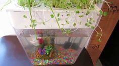 http://aquaponicgardens.angelfire.com/  Web Site For Back To The Roots Aquafarm  Aqua Farm,Aquafarm,Aquaponic Gardening,Aquaponic Farming,Back To The Roots Aquafarm,Aquaponics Farm For Sale