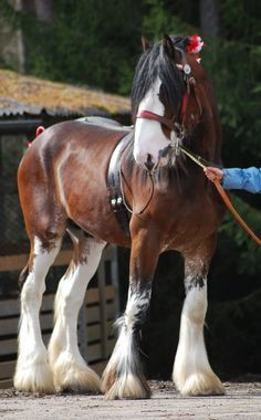 Clydesdale horse - Horses