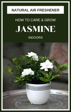 How To Grow Jasmine Indoors Jasmine is a plant that has a sweet and easy-to-recognize fragrance. How many times have you stopped off the road when you passed over a garden with a jasmine bush, just to feel more of the charmin… Jasmine Plant Indoor, Best Indoor Plants, Growing Flowers, Planting Flowers, Planting Seeds, Jasmine Bush, Natural Air Freshener, Flower Pot Design, Inside Plants