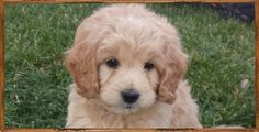 Adorable English Mini Teddy Bear Goldendoodle puppy