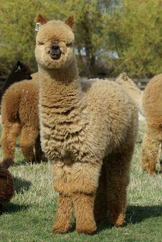 Alpacas | Cutest Paw #alpacasrule