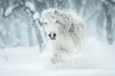 White madness - by Katarzyna Okrzesik (Welsh Pony stallion Folkert) Beautiful Horse Pictures, Most Beautiful Animals, Beautiful Horses, Beautiful Creatures, Sunshine And Whiskey, Welsh Pony, Stunning Photography, Horse Photos, White Horses