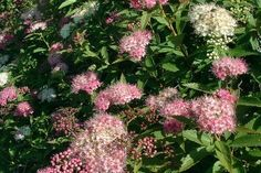 Japanse spierstruik 'Genpei'  De Spiraea japonica 'Genpei' (Japanse spierstruik 'Genpei') is met zijn maximale hoogte van 70 cm. een laagblijvende spiraea-soort. De Japanse spierstruik 'Genpei' is de enige in zijn soort die bloeit met zowel witte als roze-rode bloemschermen. De Japanse spierstruik 'Genpei' bloeit van juni tot en met september. De naam Spiraea japonica 'Genpei' is een synoniem van Spiraea japonica 'Shirobana'.