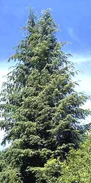 Washington State Tree - Western Hemlock - Tsuga heterophylla. More photos,information and tips on how to ID this tree are available at http://www.50states.com.