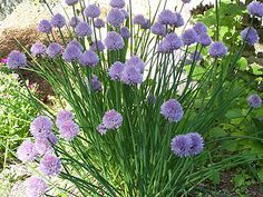 """Scabiosa caucasica 'Butterfly Blue'. - Sun-ps  1'  Blooms YEAR ROUND  Zones cs  Foliage is 6-8"""" high x 12-15"""" wide. Flowers spr-fall bring it to 12-15"""""""