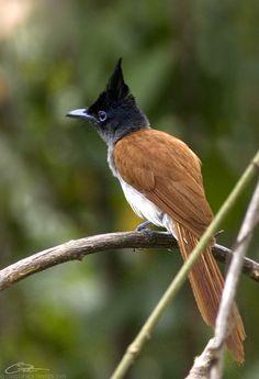 asian paradise flycatcher - Google Search