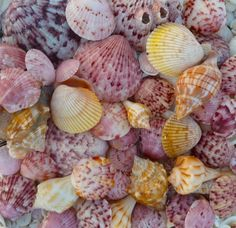 Colorful Sanibel scallops.  I like the ones with the barnacles on them.  Every shell has a story…and that barnacle is a clue to the shell's story.
